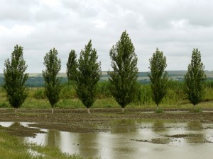 poplar windbreak